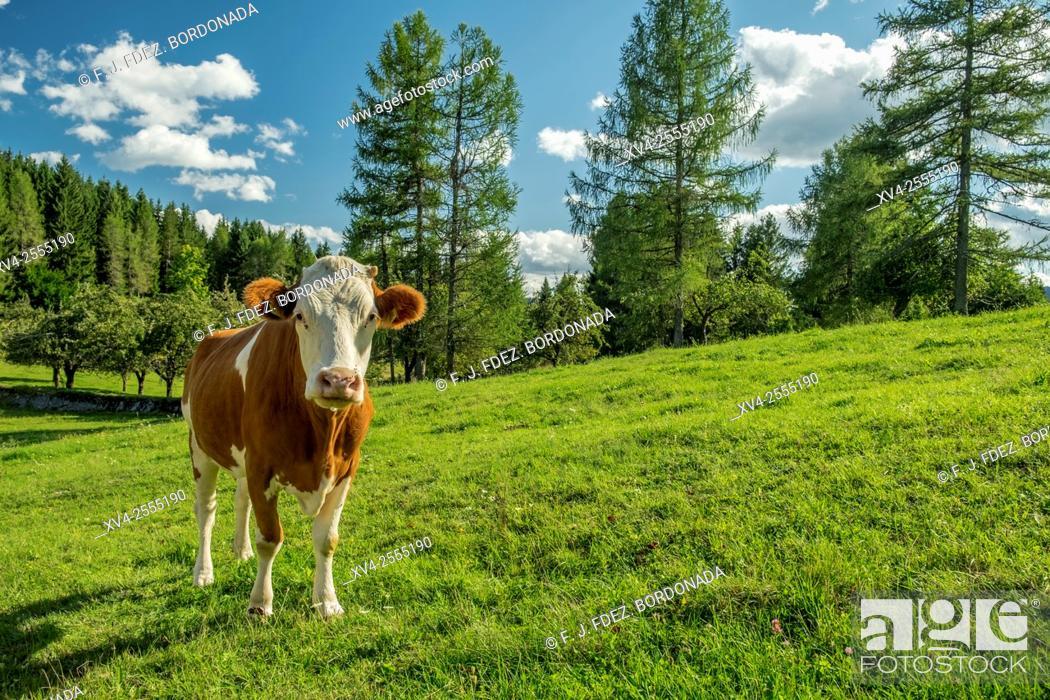 Stock Photo: Cows at Loski Potok, Slovenia.