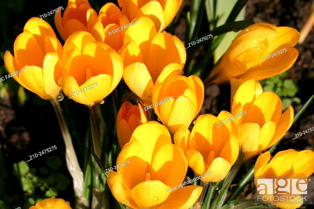 Stock Photo: Spring Crocuses.