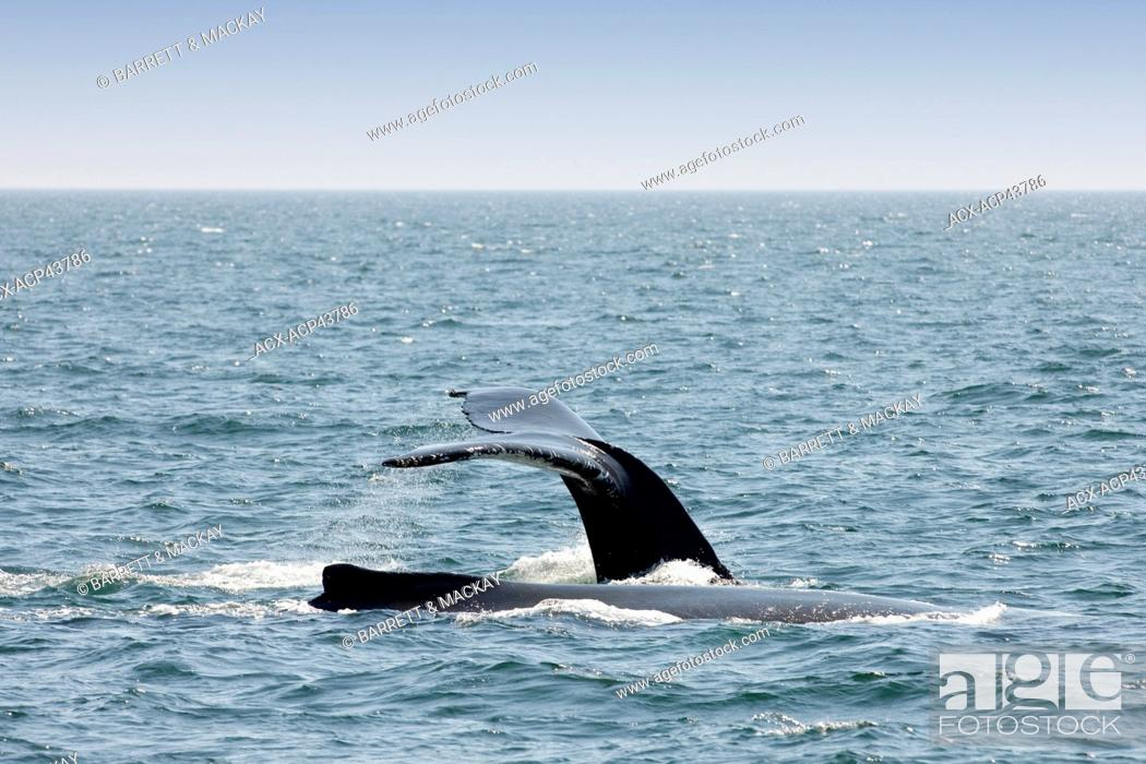 Stock Photo: Humpback whale fluke, Megaptera novaeangliae off Grand Manan Island, Bay of Fundy, New Brunswick, Canada.