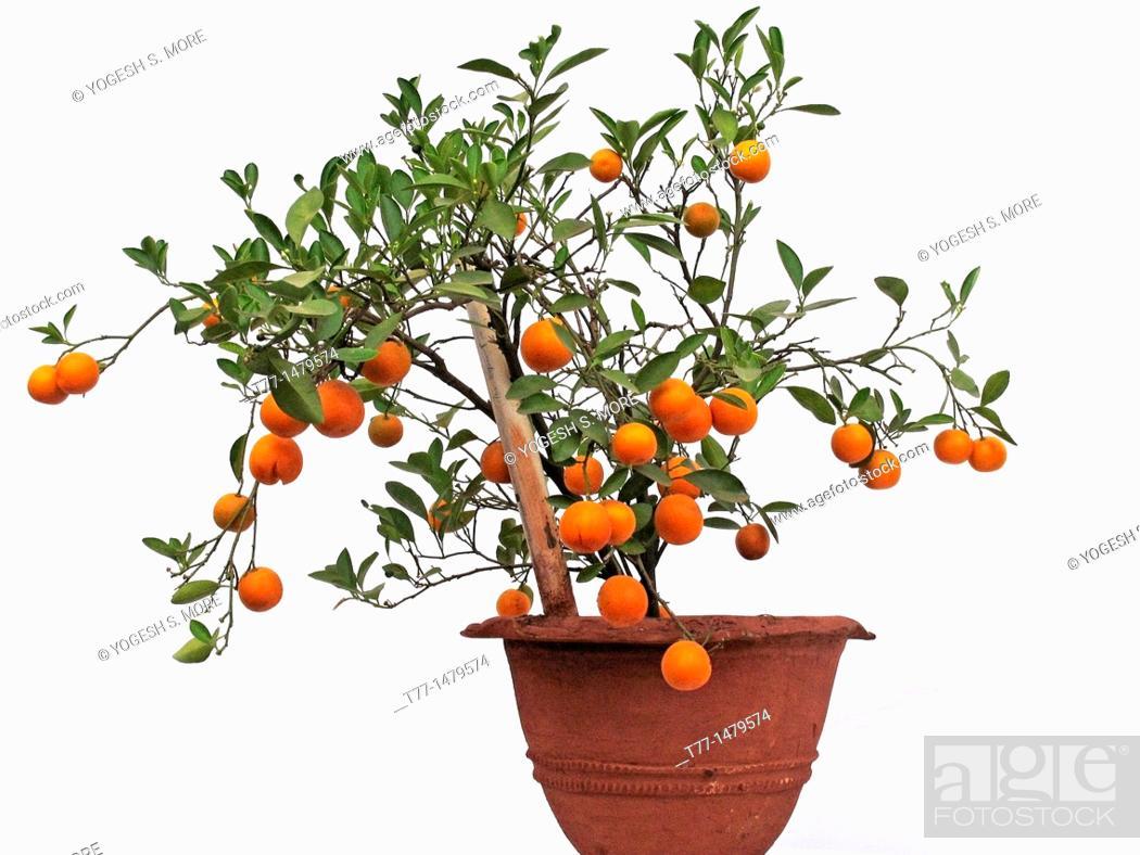 Stock Photo: Bonsai plant of Orange fruits, Sour orange, Seville orange.