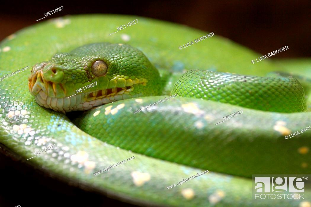 Stock Photo: Close-up of python in a protected environment  Oasi di Sant'Alessio, Sant'Alessio, Pavia, Italy.