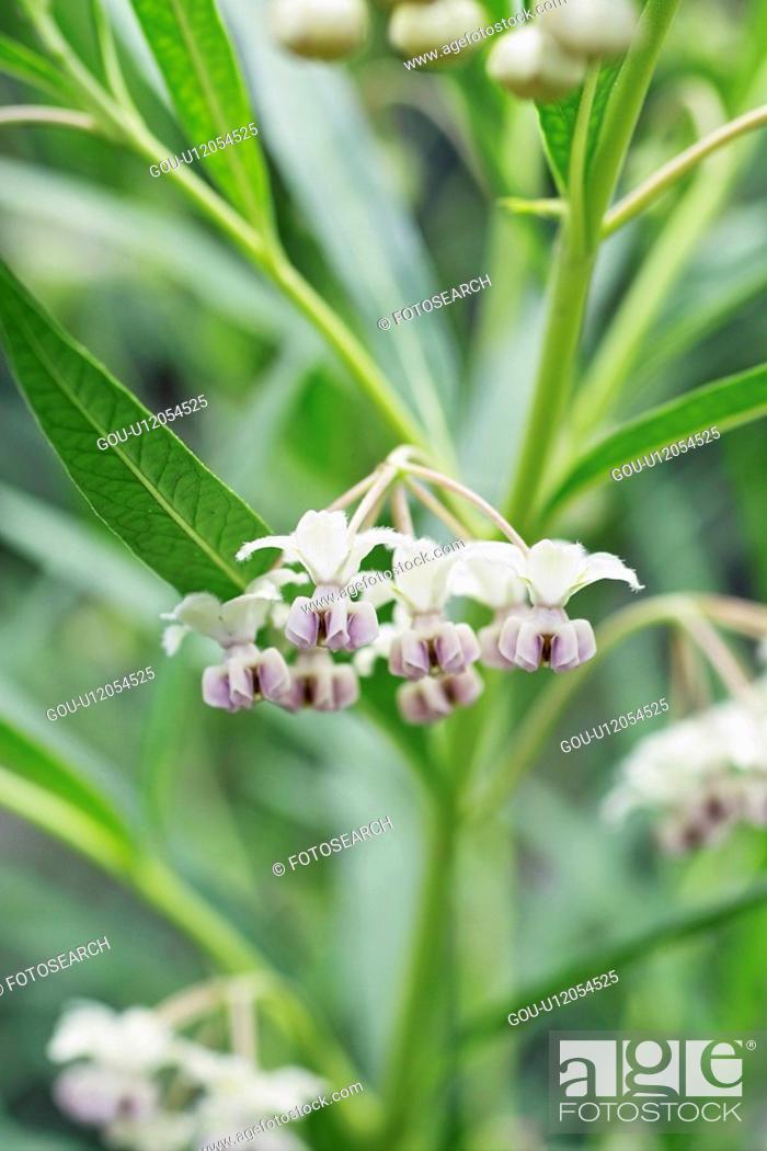 Stock Photo: Gomphocarpus physocarpus.