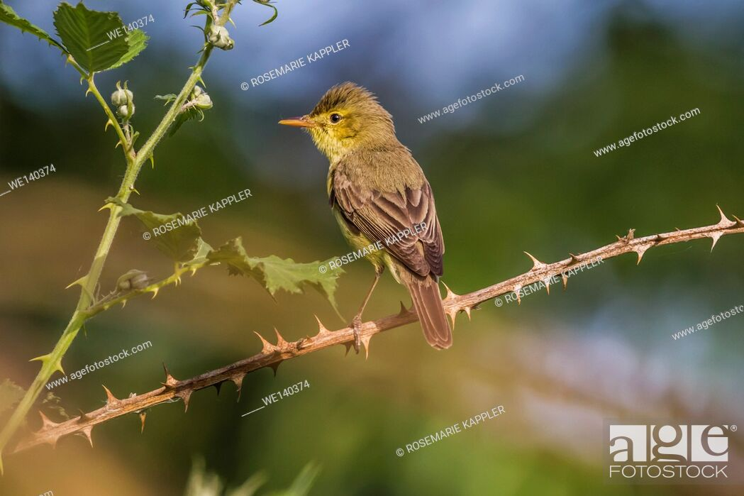 Stock Photo: Germany, Saarland, Bexbach, A melodious warbler is sitting on a branch.