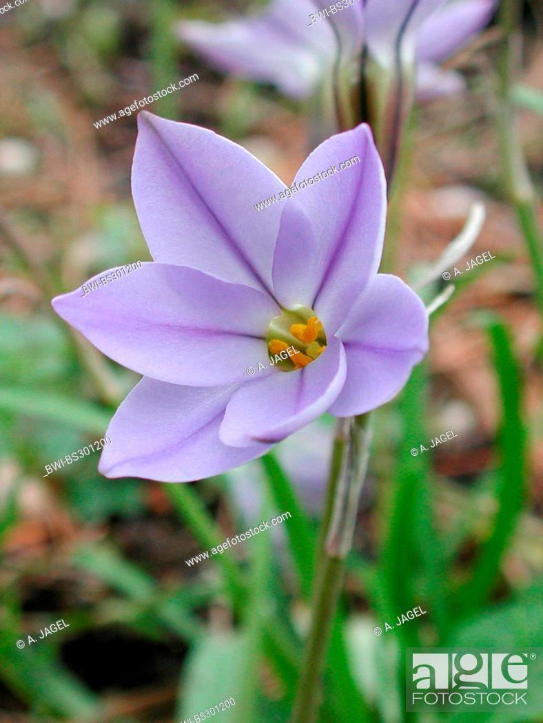 Spring Starflower Ipheion Uniflorum Flower Stock Photo Picture
