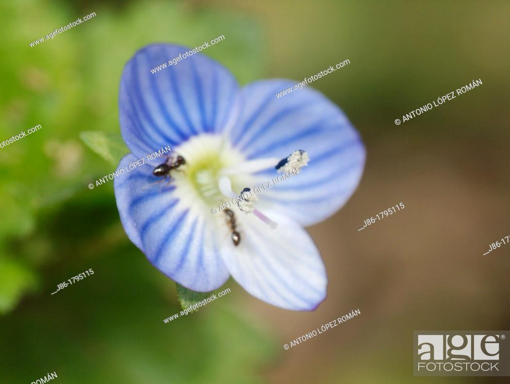 Stock Photo: wildflower  Veronica persica, Buxbaums speedwell, Persian speedwell, Spain.