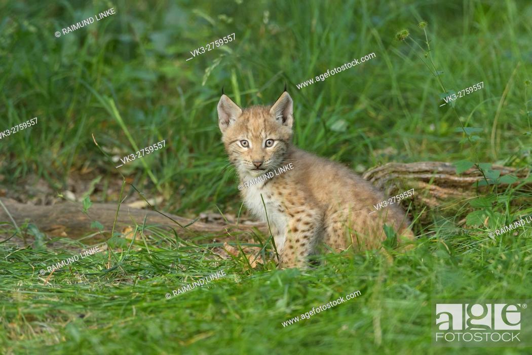 Imagen: European Lynx, Lynx Lynx, Kitten, Germany.