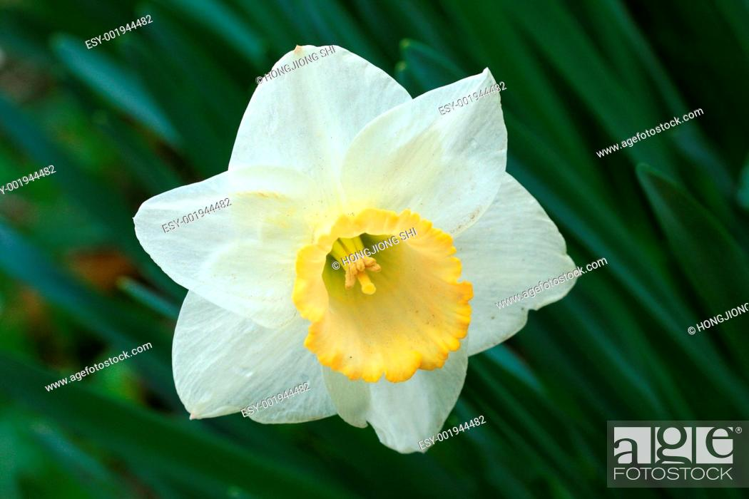 Stock Photo: The daffodil blooming in spring.