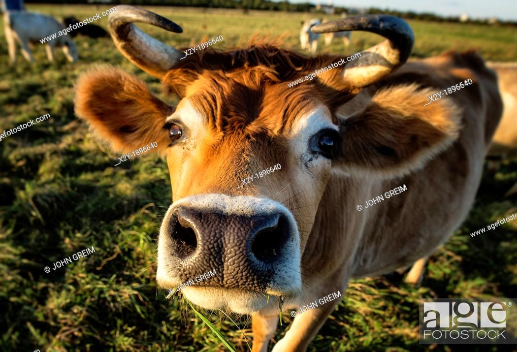 Stock Photo: Close-up of a steer.
