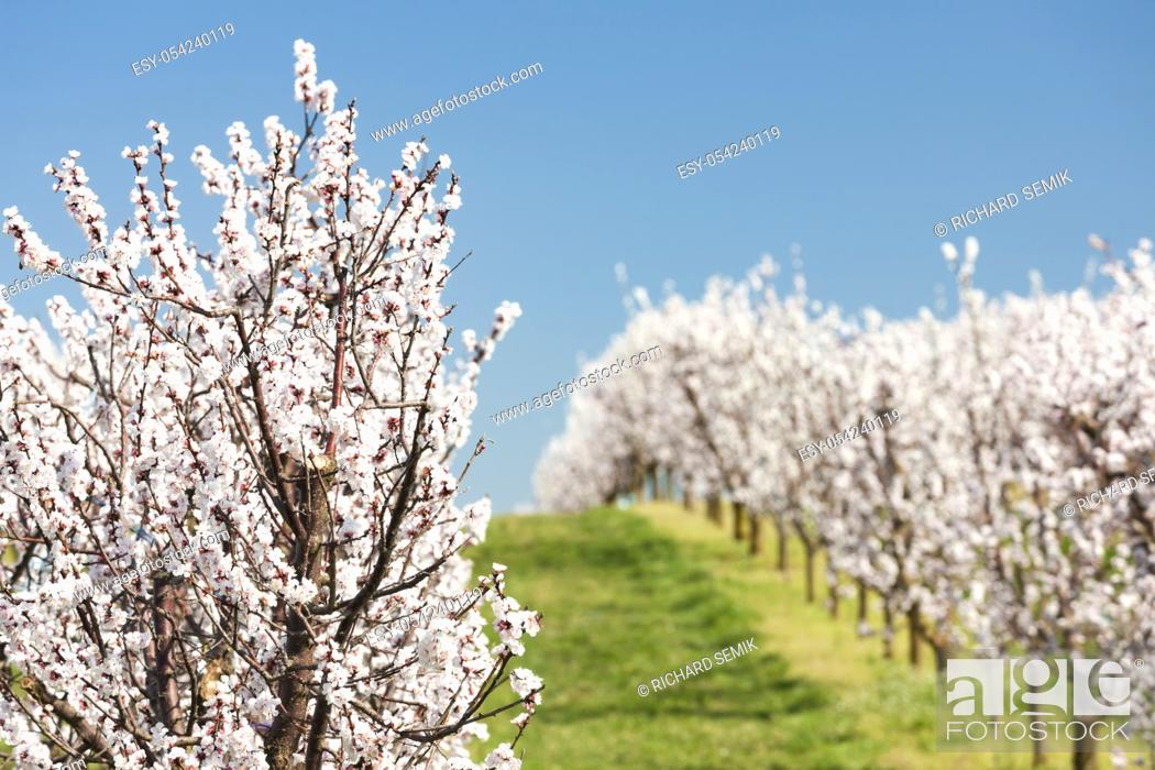 Stock Photo: Landscape with blossoming orchard in Spring.