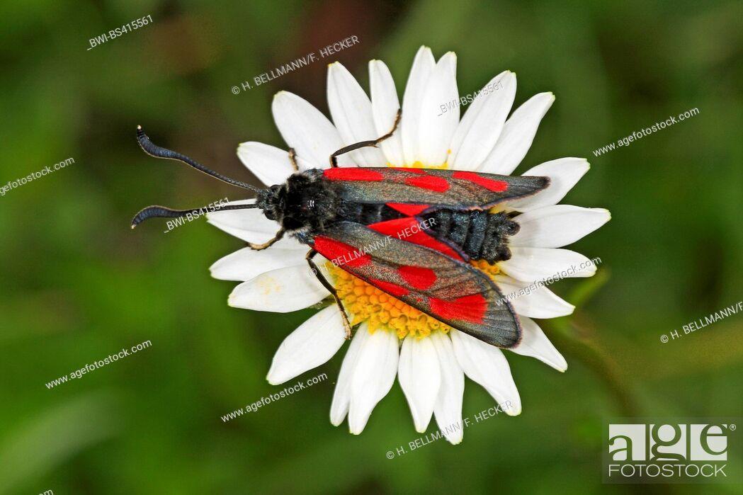 Imagen: Slender burnet, Slender Scotch Burnet (Zygaena loti), on white flower, Germany.