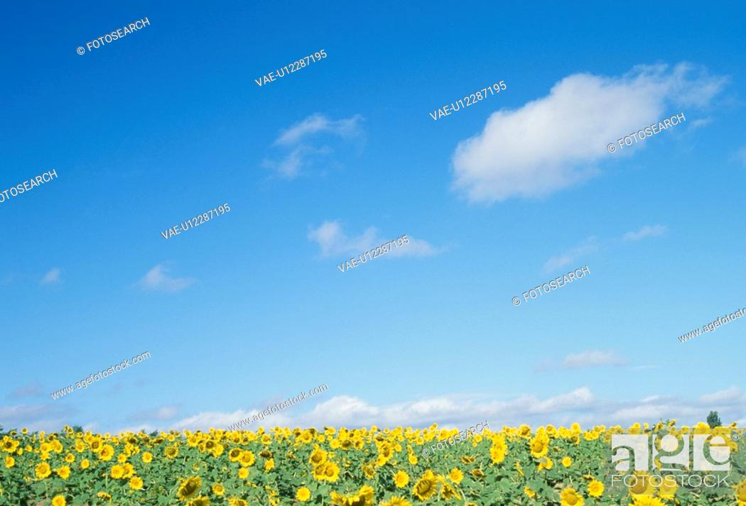 Stock Photo: A Sunflower And Blue Sky.