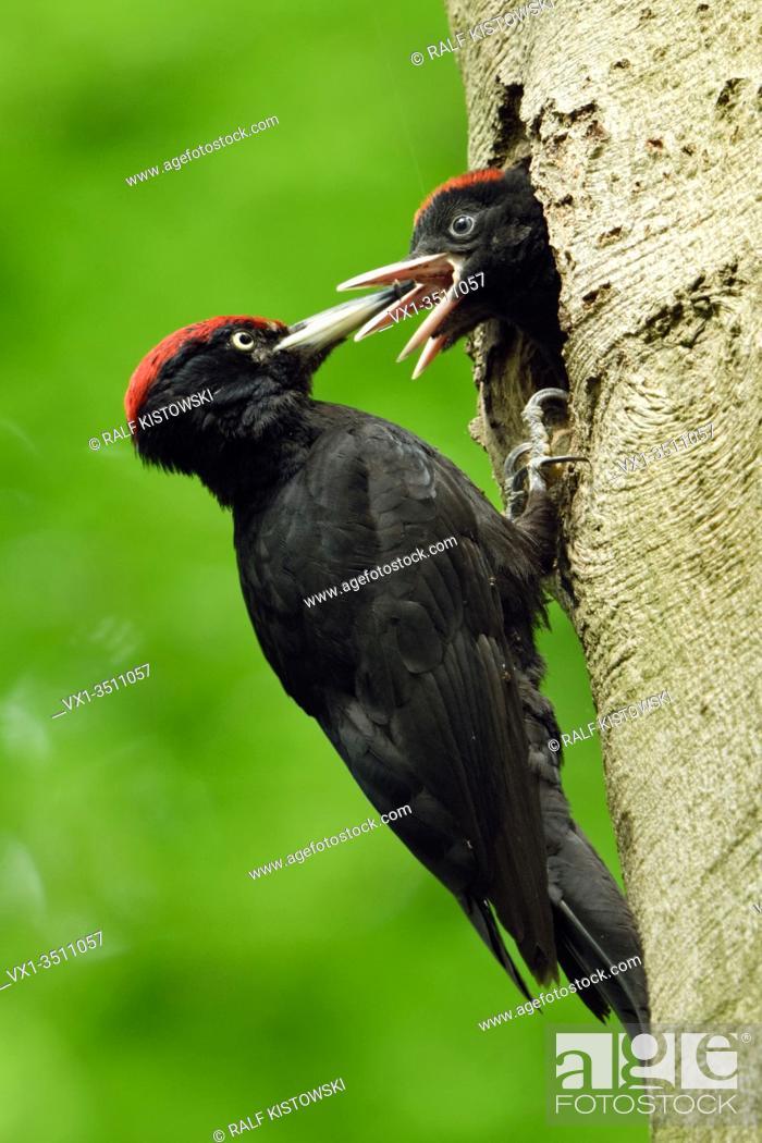 Stock Photo: Black Woodpecker ( Dryocopus martius ) feeding hungry nestlings, beaks wide open, wildlife, Europe.
