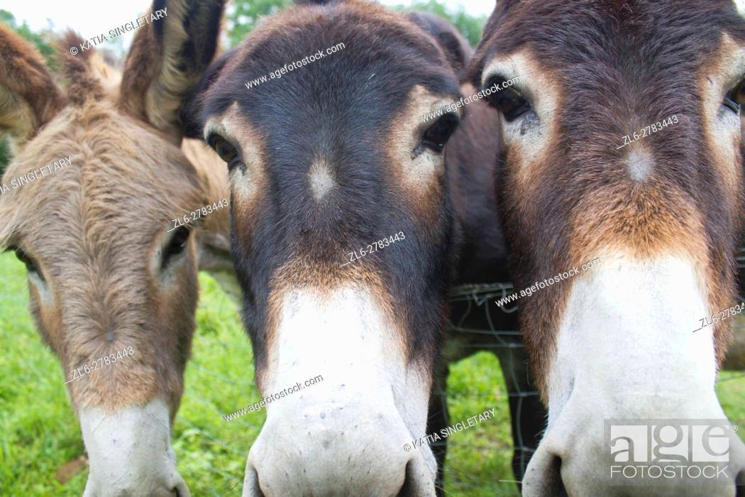 Stock Photo: Funny image of a close-up group of three curious donkeys staring in camera shooting.
