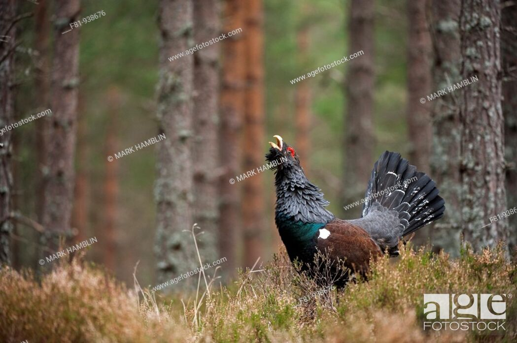 Stock Photo: Capercaillie Tetrao urogallus adult male displaying in pine forest  Cairngorms National Park  April 2009.
