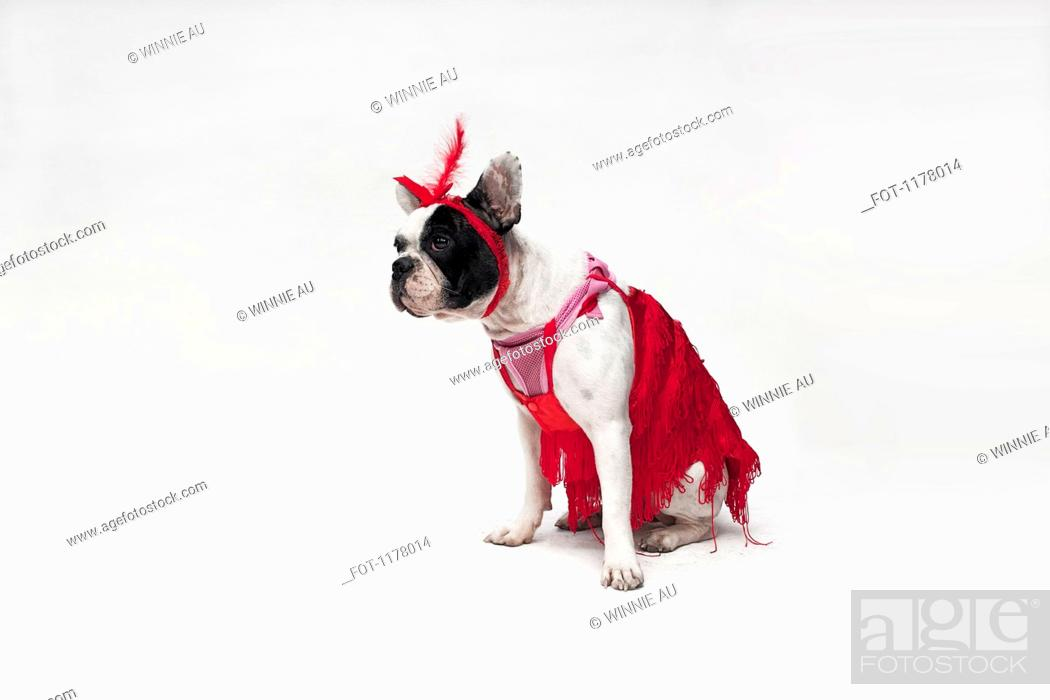 Stock Photo: A French Bulldog wearing a red flapper costume.