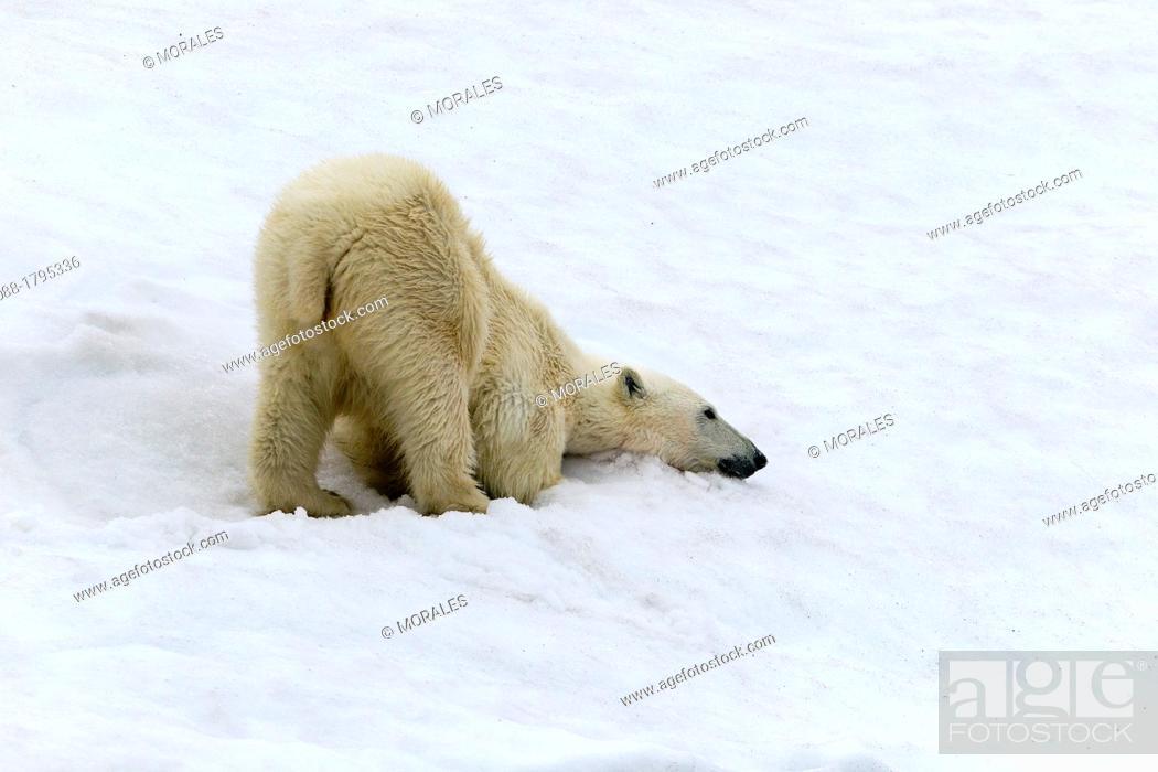 Photo de stock: Norway , Spitzbergern , Svalbard , Polar Bear  Ursus maritimus  on the ground , making the toilet.