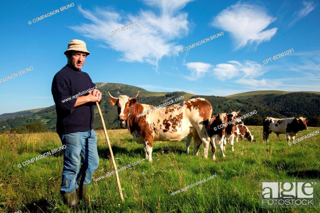 Stock Photo: FARMER WITH HIS FERRANDAISE COWS, THE MONT-DORE, SANCY MOUNTAIN, PUY-DE-DOME (63), AUVERGNE, FRANCE.