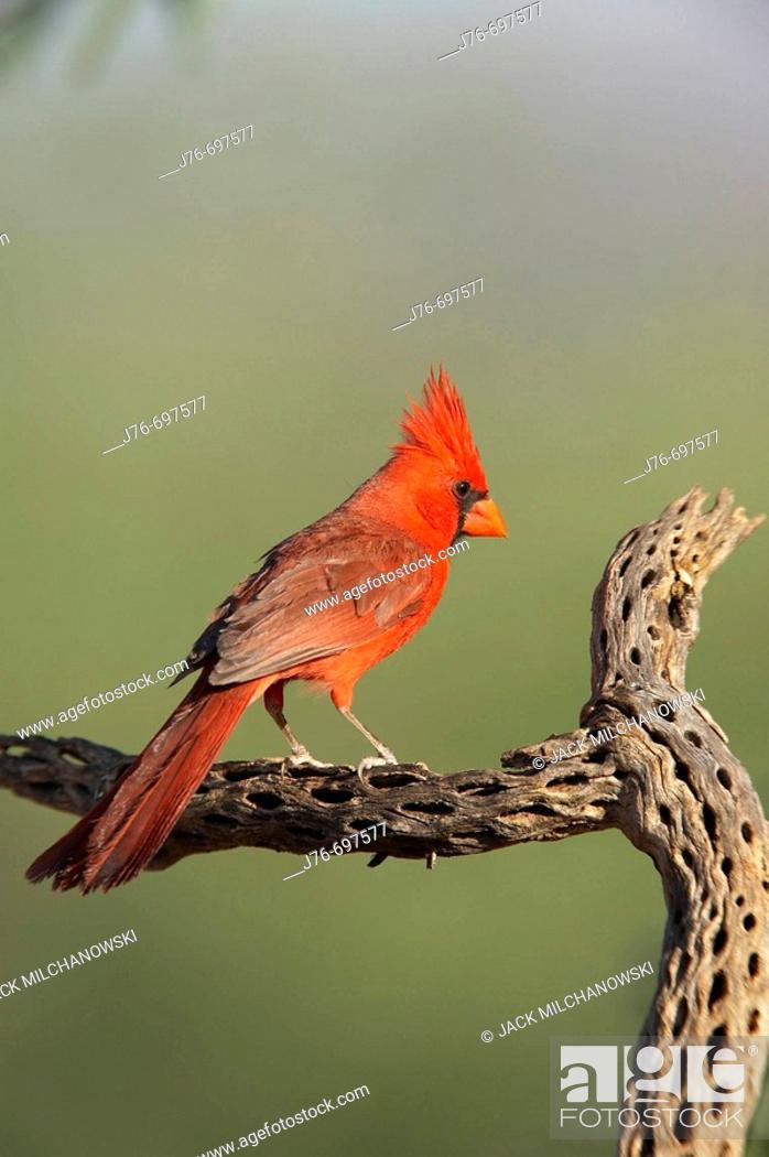 Stock Photo: Northern Cardinal (Cardinalis cardinalis), male.
