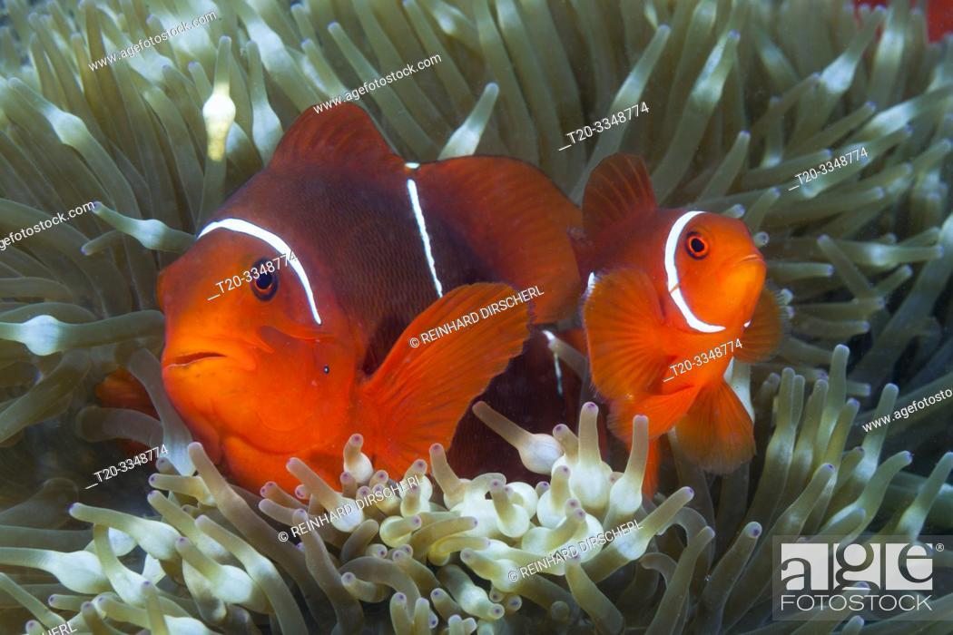 Stock Photo: Pair of Spinecheek Clownfish, Premnas aculeatus, Tufi, Solomon Sea, Papua New Guinea.