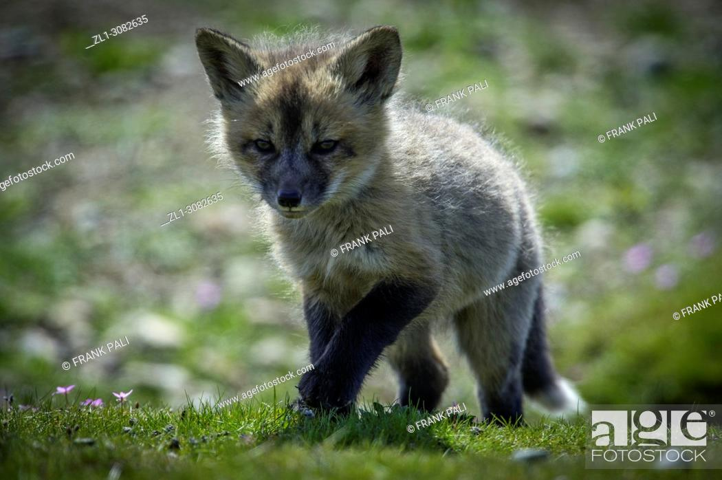 Stock Photo: The cross fox kits (Vulpes vulpes) San Juan Island, USA.