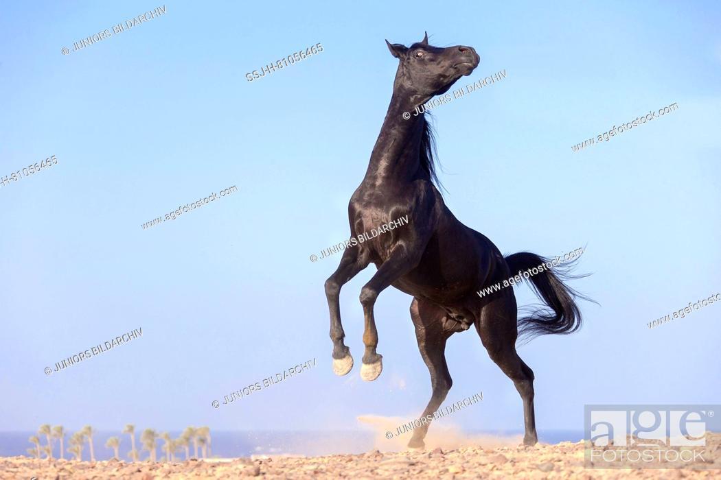 Arabian Horse Black Stallion Rearing In The Desert Egypt Foto De Stock Imagen Derechos Protegidos Pic Ssj H 81056465 Agefotostock