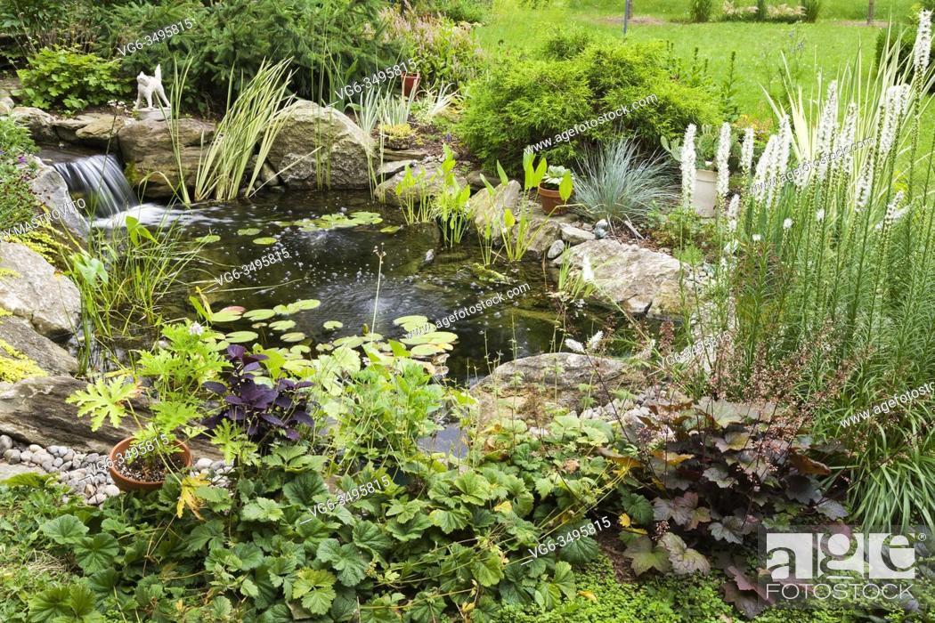 Stock Photo: Nymphaea - Waterlily pads, Acorus calamus 'Variegatus, Sagittaria latifolia 'Duck potato' - Arrowhead in rock edged pond with waterfall and bordered by Geum.