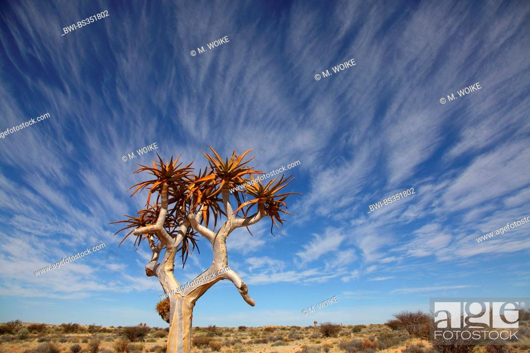 Stock Photo: Kokerboom, Quivertree, Quiver Tree (Aloe dichotoma), Quivertree in front of cirrus clouds , South Africa, Augrabies Falls National Park.