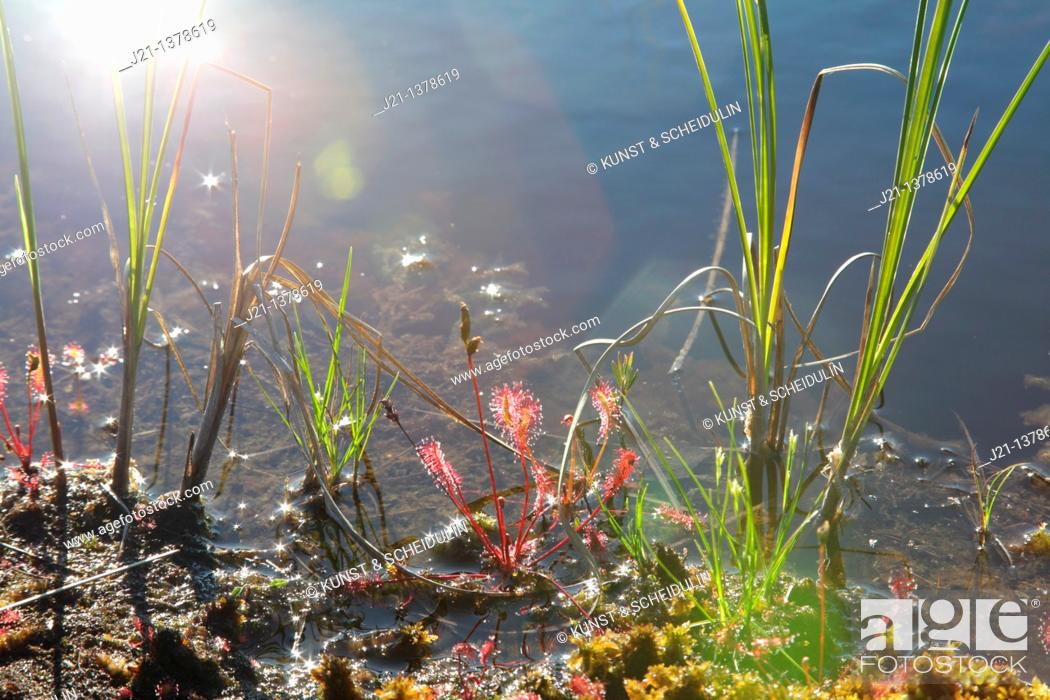 Stock Photo: English sundew, also called Great sundew Drosera anglica, growing between mosses on the shore of a lake in northern Sweden.
