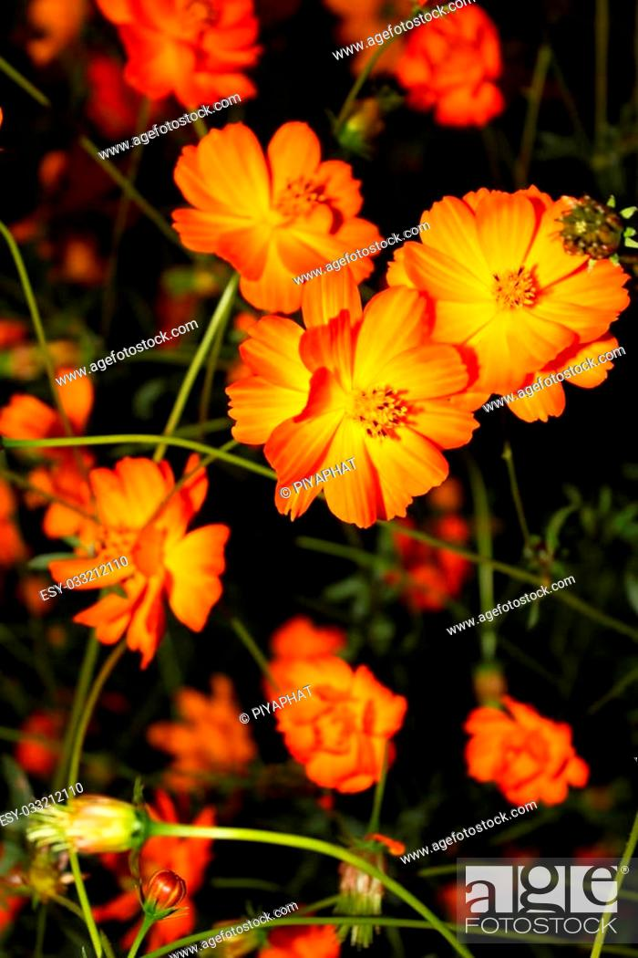 Cosmos Are Herbaceous Perennial Plants Growing 0 3 2 M 10 In 6 Ft