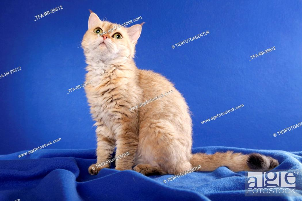 Stock Photo: shorthaired Selkirk Rex.