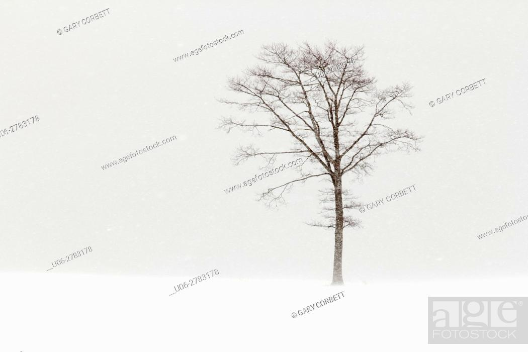 Stock Photo: a tree on a field in a snow storm.