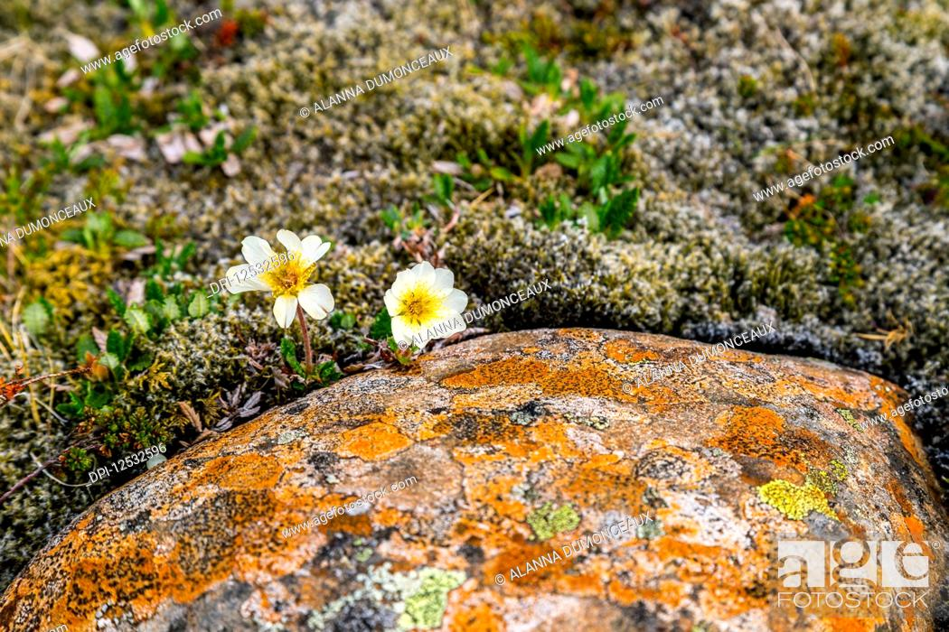 Stock Photo: Two hardy white flowers emerge from a thick bed of moss and colourful lichen against the rocky landscape; Iceland.