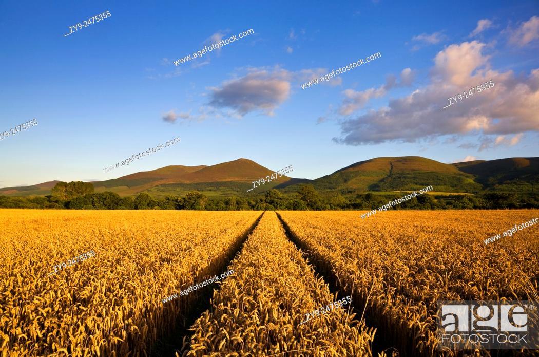 Stock Photo: Wheatfield near Clogheen,. Look towards the Knockmealdown Mountains,. Co Tipperary, Ireland.