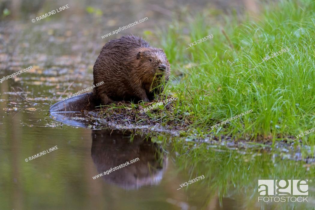 Stock Photo: Beaver, European beaver, Castor fiber, Spessart, Bavaria, Germany.