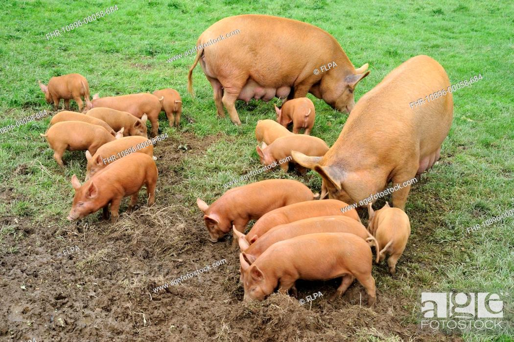 Domestic Pig Tamworth Sows With Sixteen Piglets Feeding In