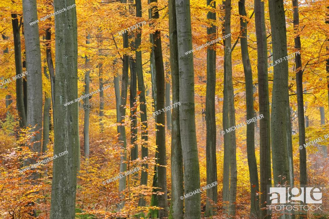 Stock Photo: Beech trees in autumn, Spessart, Germany, Europe.
