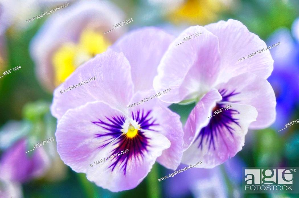 Stock Photo: Lavender Pansy Flower Duo One Flower is Closed Viola x wittrockiana May 2008 Maryland, USA.