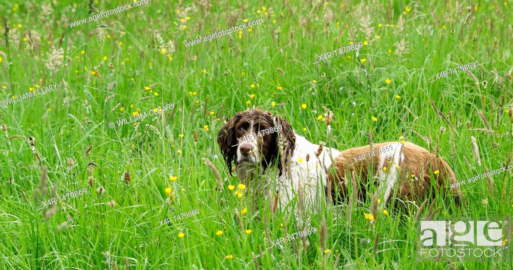 Stock Photo: Springer Spaniel in a meadow.