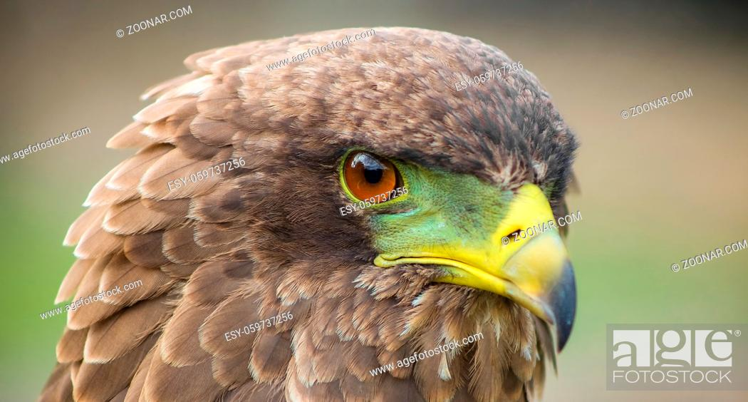 Stock Photo: Close up macro of a brown eagle with a green and yellow beak.