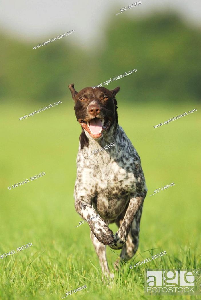 Stock Photo: Hound, running German short- haired, Germany.