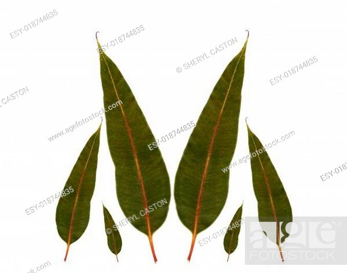 Stock Photo: eucalyptus gum leaves australian native plant.