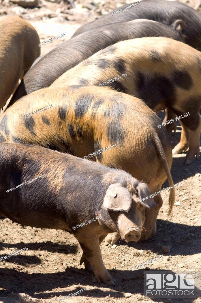 Stock Photo: Wild boar pigs Corsica spotted Domestic free range.