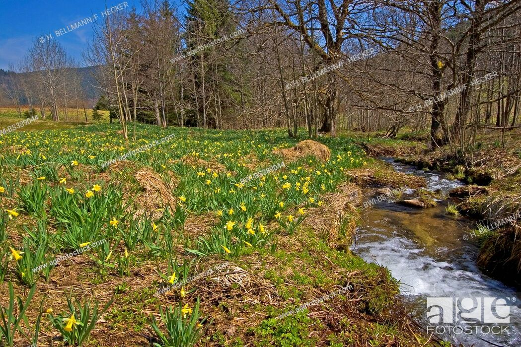 Imagen: common daffodil (Narcissus pseudonarcissus), blooming in a meadow at a creek, Germany.