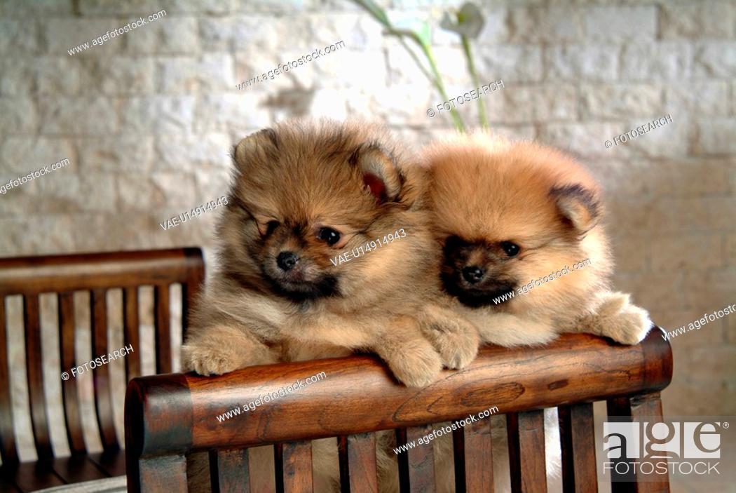 Stock Photo: canine, dog, close up, domestic animal, pet, pomeranian.