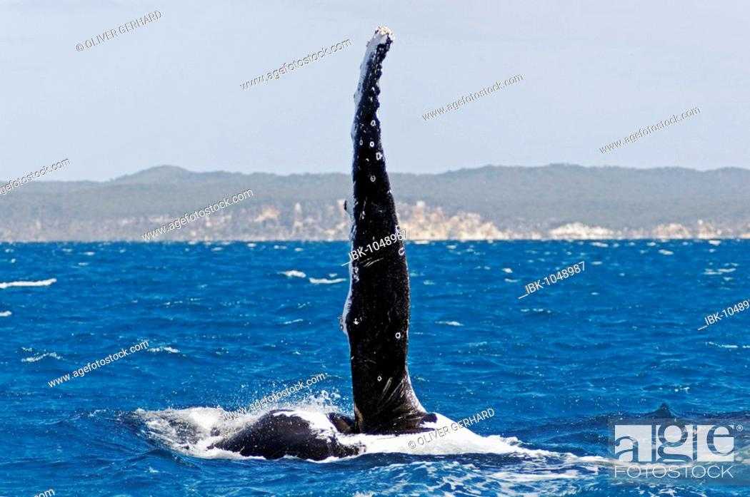 Stock Photo: Flipper, pectoral fin of a Humpback Whale (Megaptera novaeangliae) in Hervey Bay in front of Fraser Island, Queensland, Australia.
