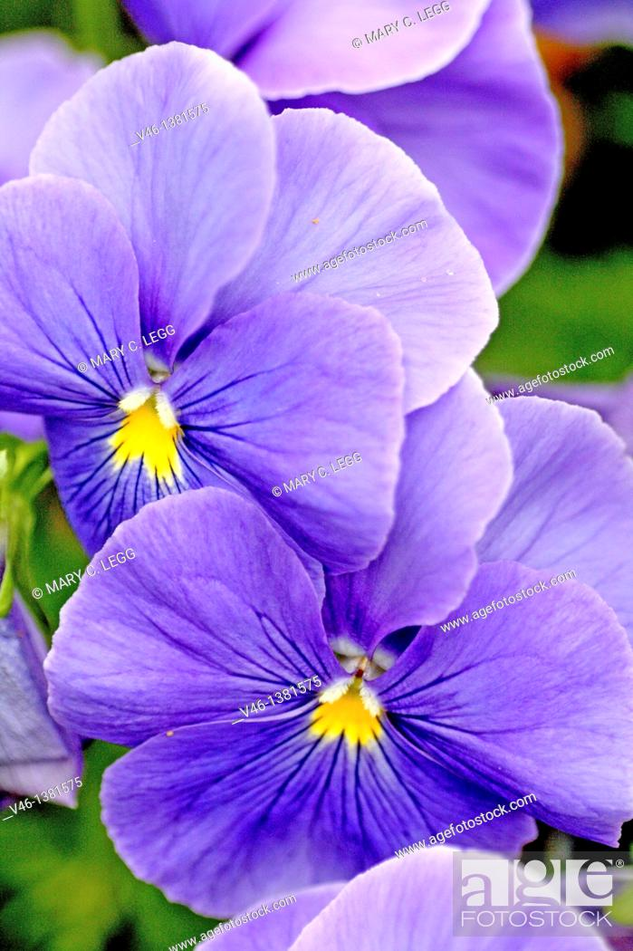 Stock Photo: Two large periwinkle blue pansies  Round blue pansies against green leaves.