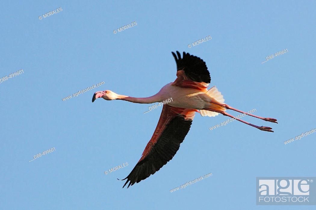 Stock Photo: Greater Flamingo (Phoenicopterus ruber). Bouches du Rhone. France.