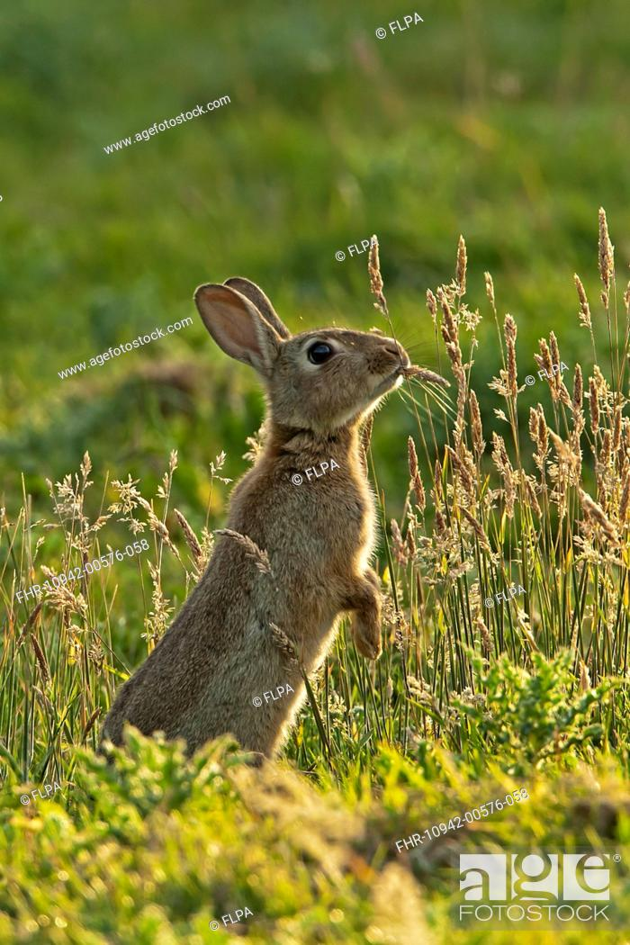 European Rabbit Oryctolagus Cuniculus Adult Standing On Hind Legs
