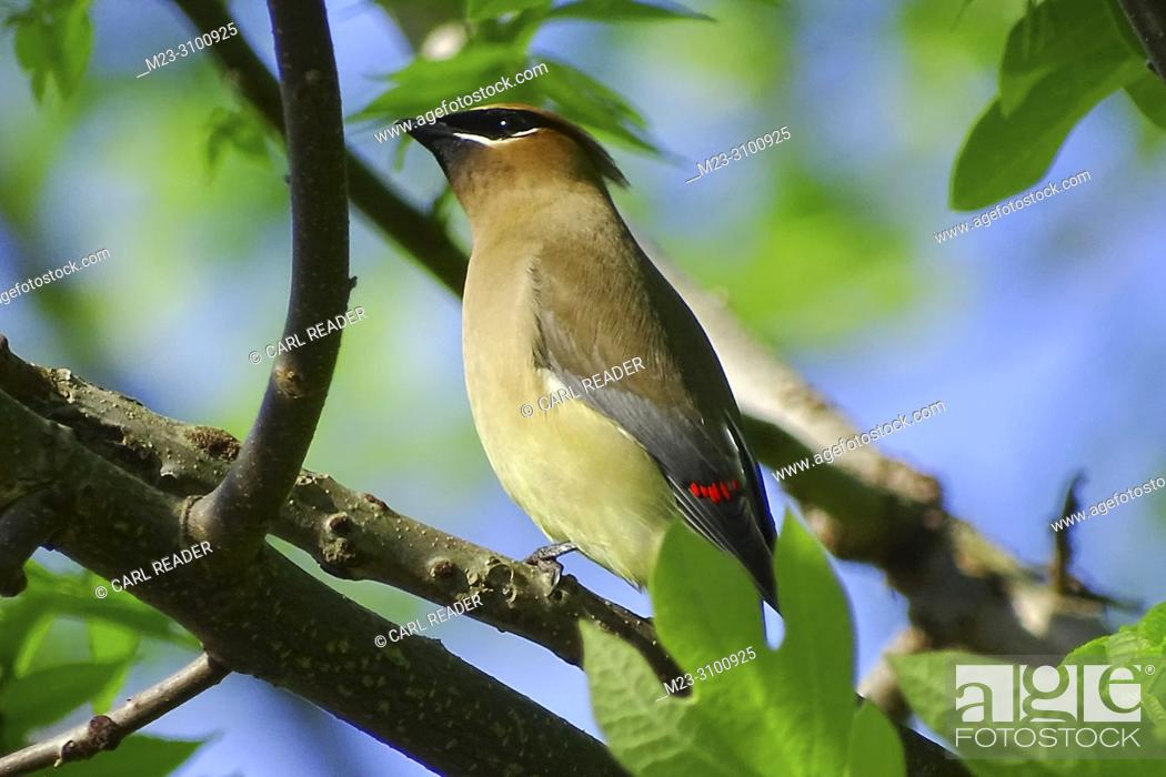 Imagen: A cedar waxwing, Bombycilla cedrorum, looking skyward, Pennsylvania, USA.