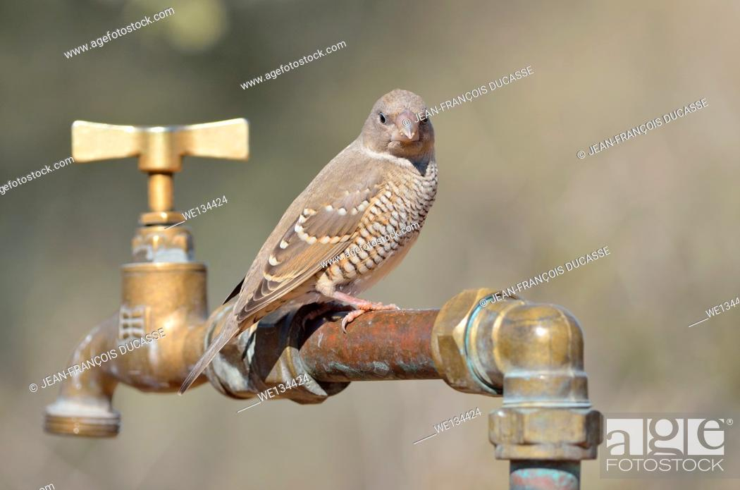 Stock Photo: Red-headed Finch (Amadina erythrocephala), female sitting on a pipe, at Twee Rivieren rest camp, Kgalagadi Transfrontier Park, Northern Cape, South Africa.
